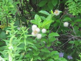 Common Buttonbush and Wild Bergamot by Windthin