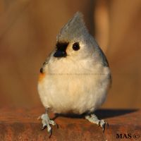 Tufted Titmouse_3824 by MASOCHO