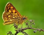 Chequered Skipper by miirex