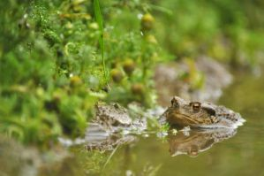 Common toad by Dariaocean