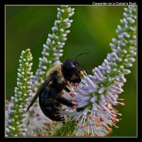 Carpenter on a Culver's Root by boron