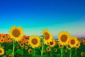 Sun flowers by lica20