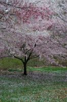 Cherry Blossoms 10 by FairieGoodMother