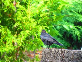 A Crow On A Stump by wolfwings1