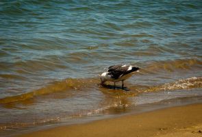 Seagull by mairlin
