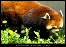 Red Panda 2 by KSPhotographic