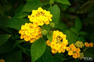 Yellow Flower by vhive