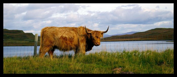 Highland Cow by pixlepixie