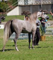 TW Arab grey, classic show pose neck arched by Chunga-Stock