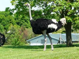 Ostrich 07 by Unseelie-Stock