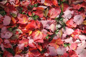 red leaves by taevans