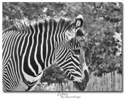 ..Zebra.. by Black-White-Club