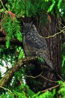 gregory the great horned owl by pagan-poetess
