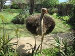 Bahti the Ostrich by TheFriendlyElephant