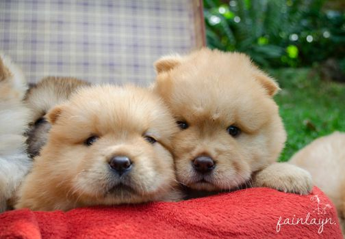 Chow puppies by clara-di