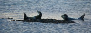 Seals 2 by ragnaice
