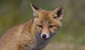 Fox Cub Portrait by AngelaLouwe