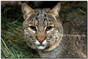 Bobcat up Close  V by LoneWolfPhotography