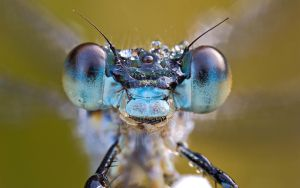 emerald damselfly portrait by MartinAmm