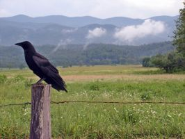 Crow by photowizard