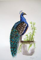 Peacock by BrazenDesign