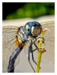 Dragonfly II by Eccoton