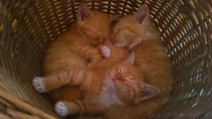 Kittens in the basket ^^ by ZalyTheRougeTiger
