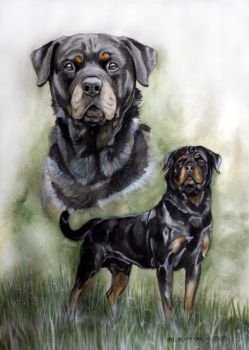 Commission - Rottweiler by Marzzunny