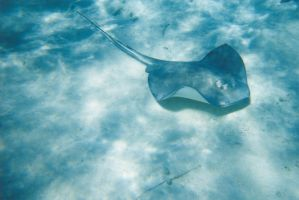 Stingray by animal-estocastico