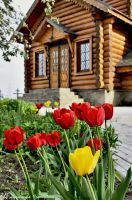 tulips on background of wooden church by Lyutik966