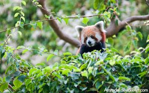 Red Panda IX by amrodel