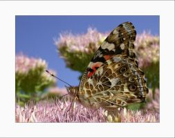 """""""Painted Lady"""" by solodaddy"""