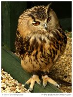 Eurasian Eagle Owl by In-the-picture