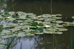 Patch of White Water Lilies by steppeland
