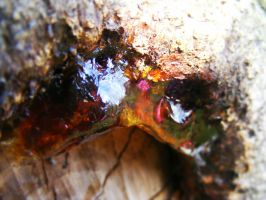 Resin on a cherry tree by TomorrowPhotographer