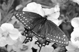 Swallowtail Black and white by Laur720