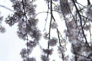cherry blossoms V by breakeric