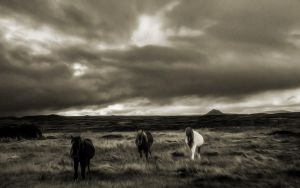 Wild Welsh Ponies 8 by welshdragon