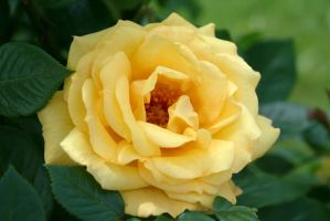 A rose from vienna by ingeline-art