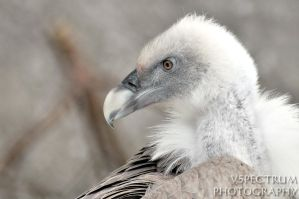 Old World Vulture 03 2010 by cinnabarr