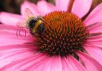 Bumblebee on Rudbeckia by Amazonofexeter