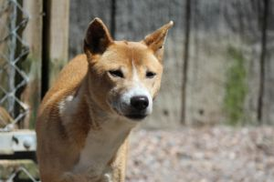 New Guinea Singing Dog 3 by lucky128stocks
