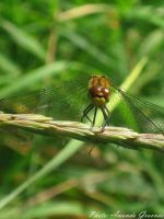 Dragonfly by AmandaGruvnas97