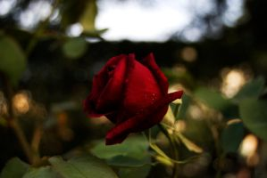 ..Rose Red.. by TricksterNabi