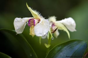 White Dewy Orchid by amrodel