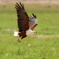 take off fish eagle by GREYFading