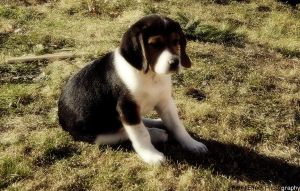 Beagle puppy II. by PatrikEffect