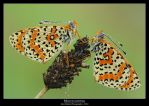 Melitaea didyma by SelvaggioRocker