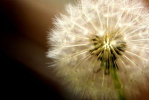 dandelion 1 by ravenofdispersion