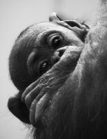 Chimp baby by hackamore